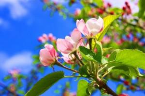 りんごの花空に2009