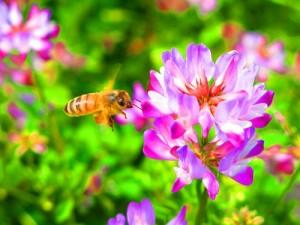 レンゲの花と蜂