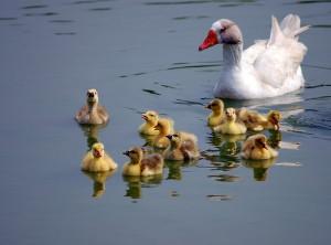 Família_Ganso